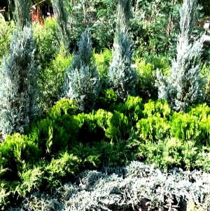 I steered clear of the conifer section - they're known to be sensitive plants to start with - last thing I needed was to kill the whole lot with one 'negative touch'..