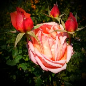 Four for the price of one... I gave this rare rose four separate negative thoughts, one for each blossom.
